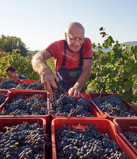 vinograd-saksida-trgatev-merlot4
